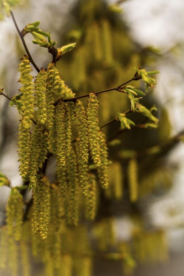 planter un noisetier après la floraison