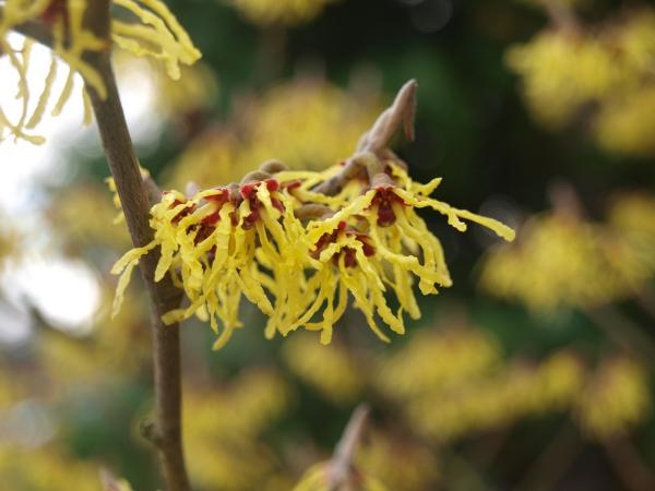 planter un noisetier fleurir en jaune