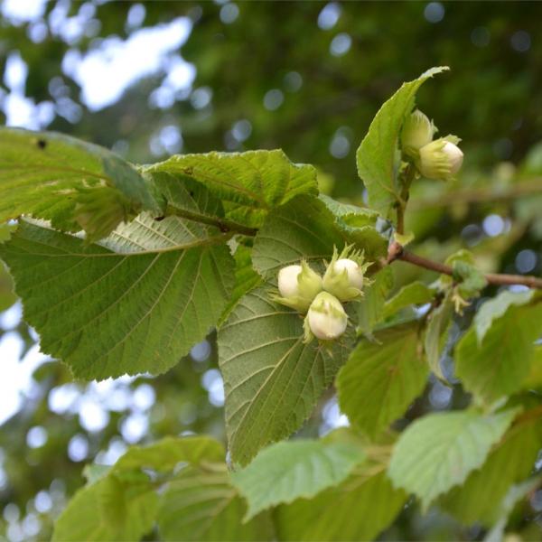 planter un noisetier formation des fruits