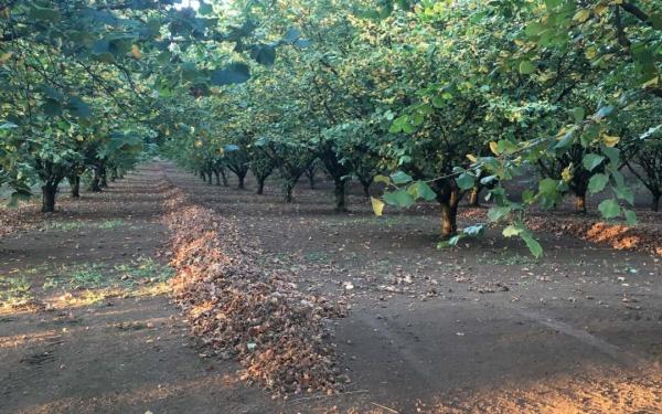 planter un noisetier jardin de noisetiers