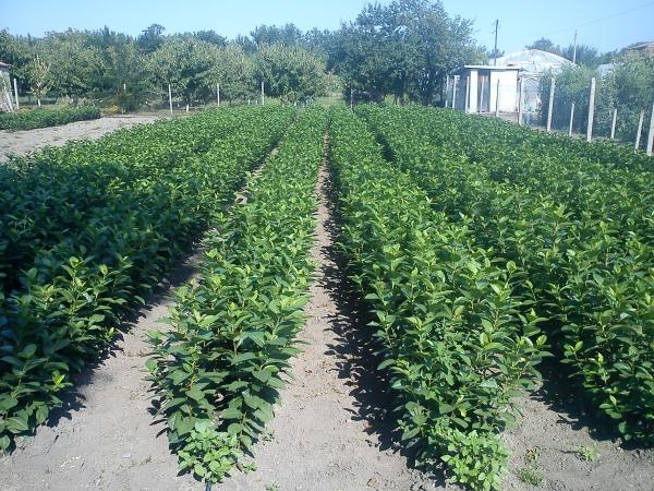 planter un noisetier jeune plantation