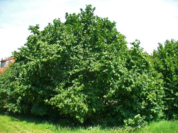 planter un noisetier un grand arbuste