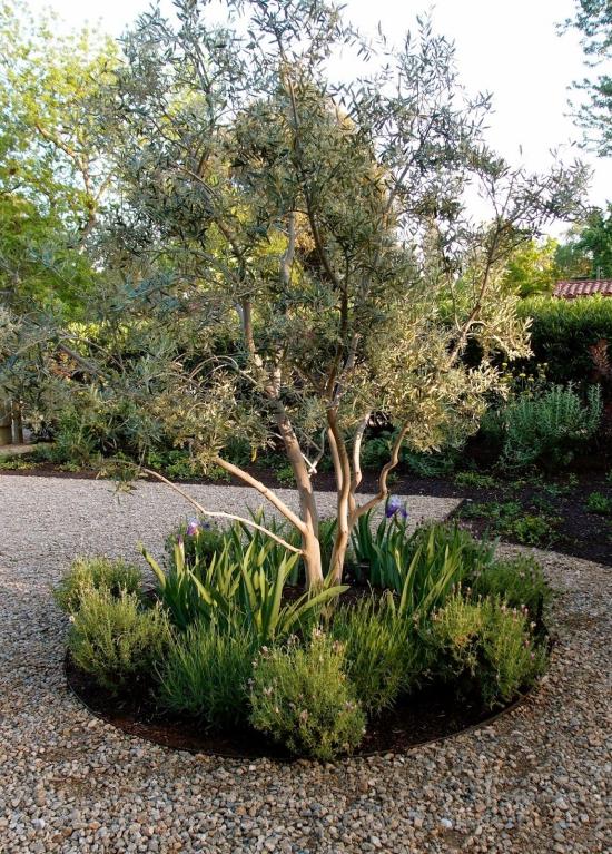 planter un olivier arbre au milieu de la cour