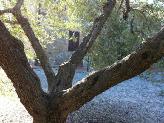 planter un olivier arbre séculaire