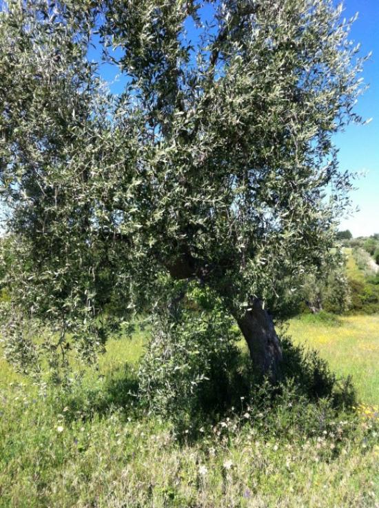 planter un olivier bonne ombre
