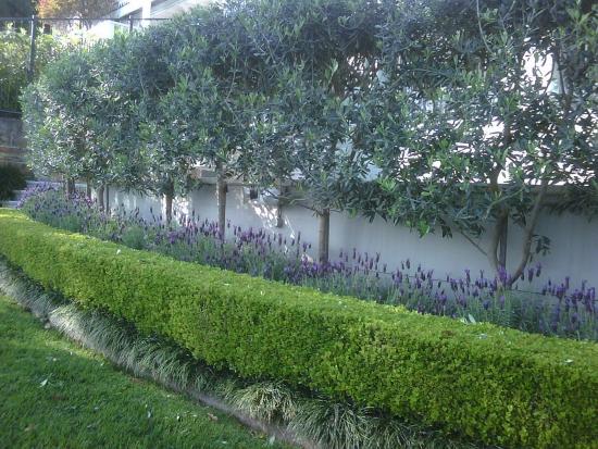 planter un olivier comme brise-vue