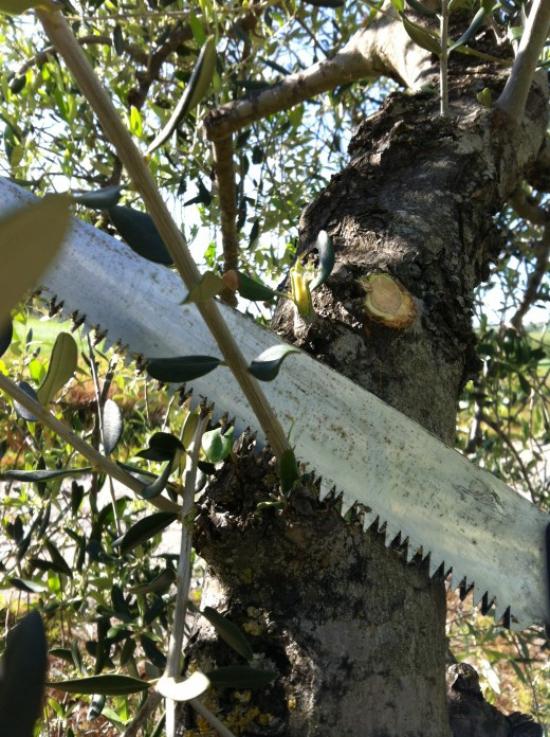 planter un olivier couper les jeunes branches