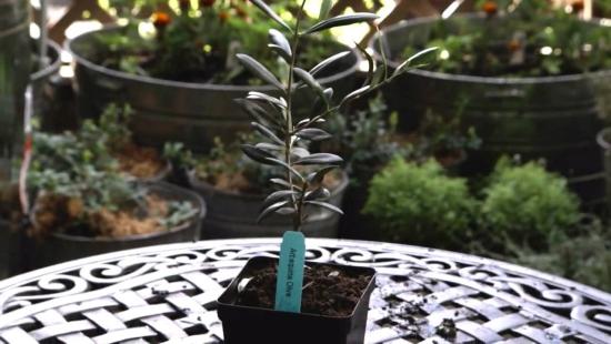 planter un olivier dans une petit pot