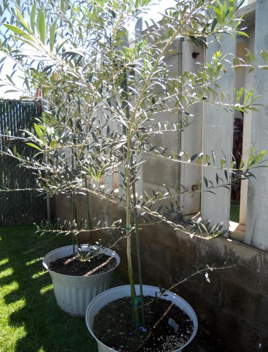 planter un olivier deux grands pots