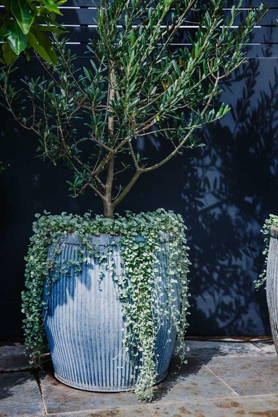 planter un olivier dqns un grand pot