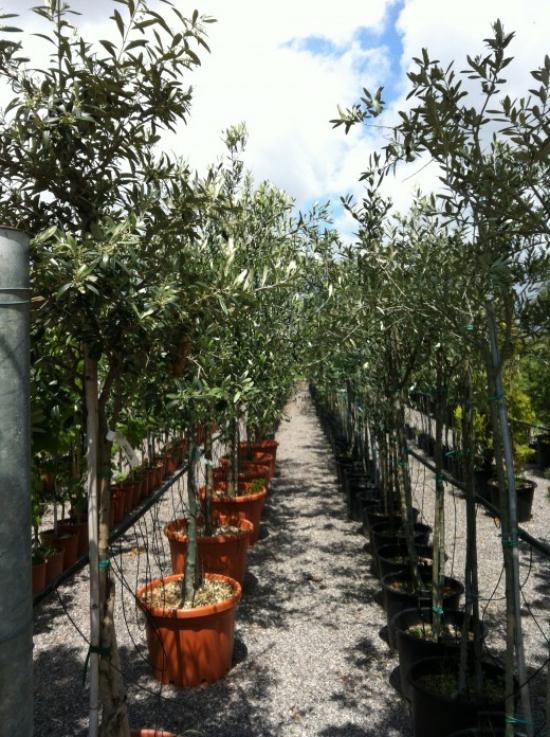 planter un olivier en pépinière