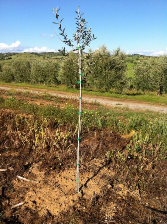 planter un olivier planter un jeune arbre