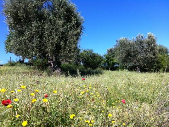 planter un olivier un champ de fleurs
