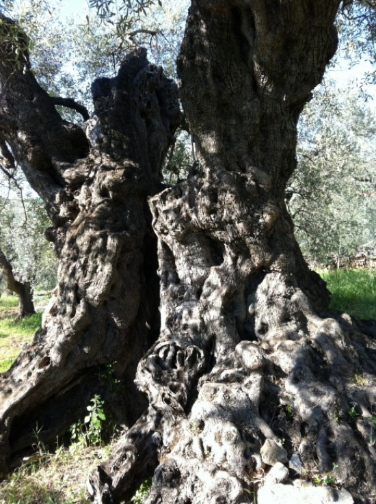 planter un olivier un tronc majestueux