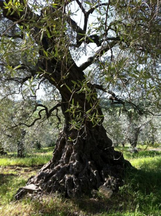planter un olivier une forêt d'oliviers