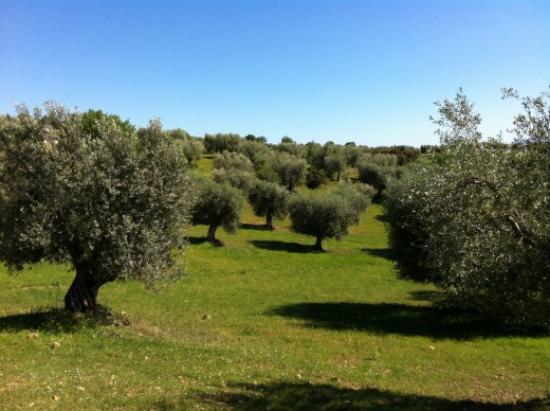planter un olivier une oliveraie