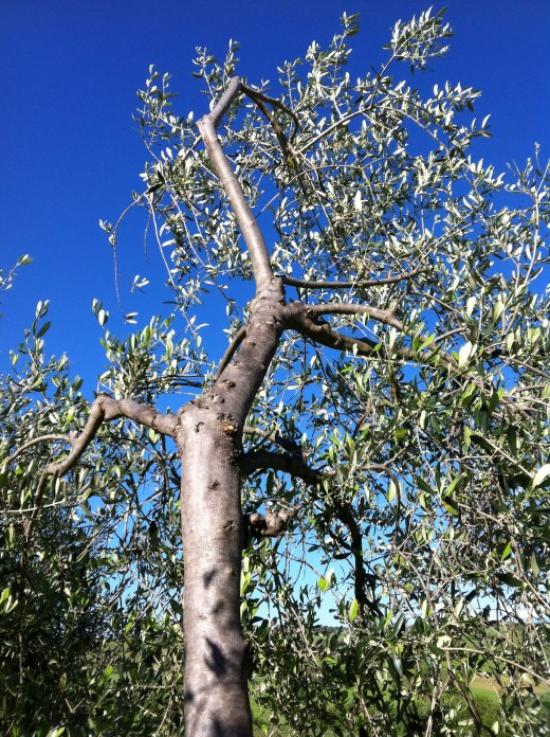 planter un olivier une riche récolte