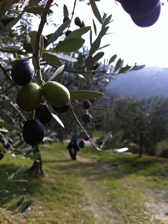 planter un olivier vert et noir