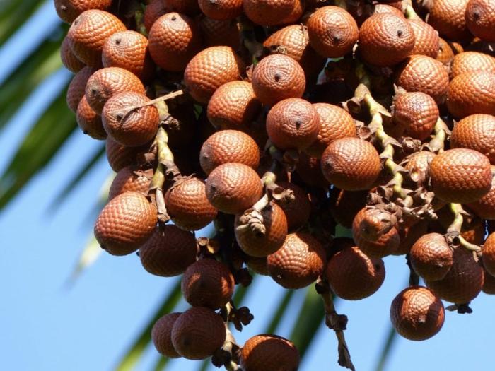 huile de buriti plante