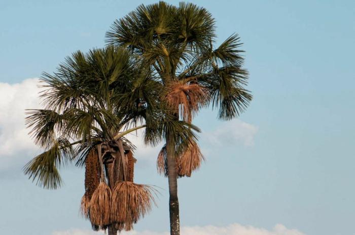 palmier buriti huile de buriti