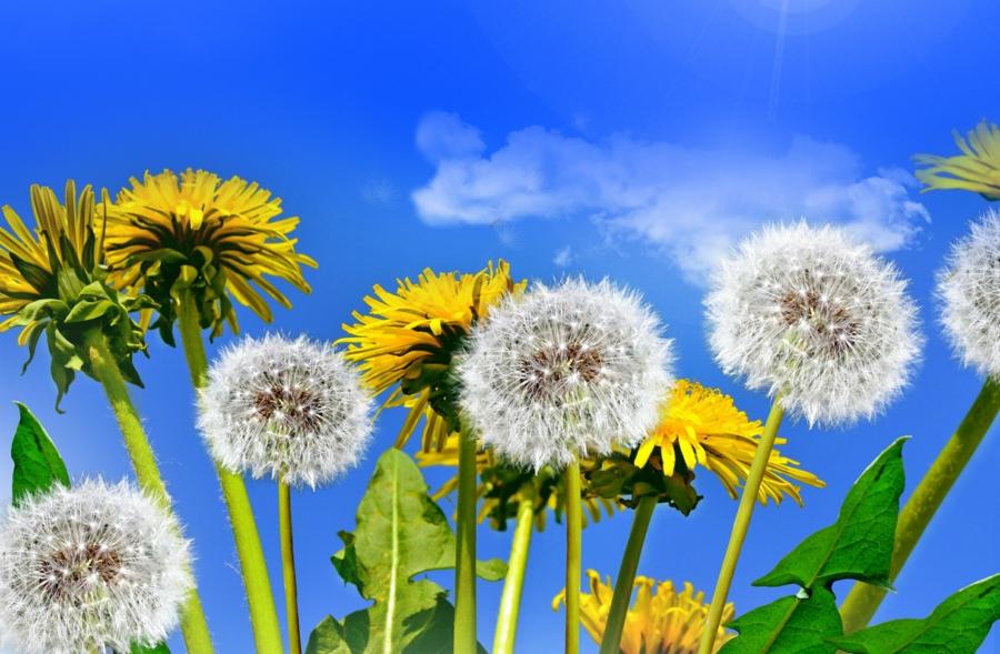 plante pissenlit utilisation et bienfaits