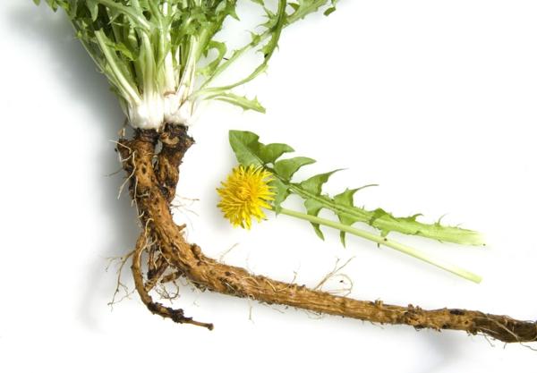 racine de la plante pissenlit
