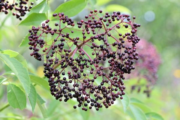 12 astuces malignes pour chasser les taupes du jardin au naturel planter des branches de sureau