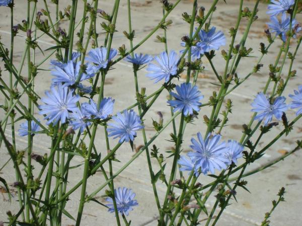 bienfaits de la chicorée en période de floraison