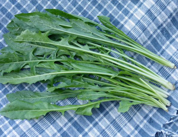 bienfaits de la chicorée feuilles de la chicorée