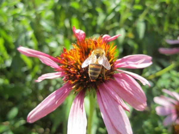 jardin vivant biodiversité fleurs abeilles