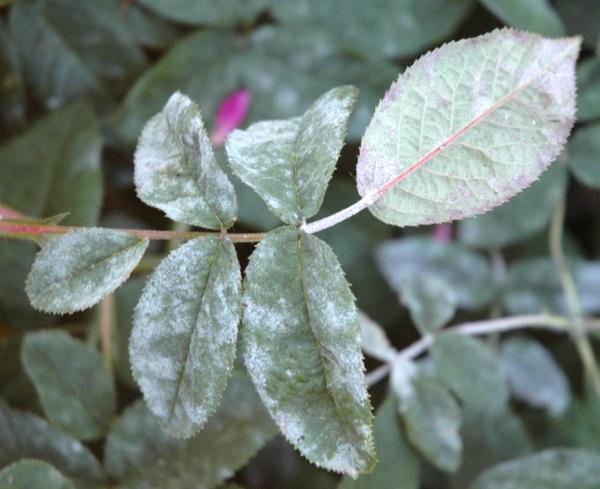 5 façons d'utiliser le savon de Castille dans le jardin Traitement du mildiou