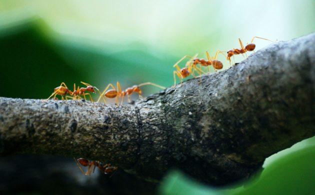 Anti-fourmis naturel