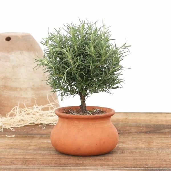 Comment cultiver le romarin arbuste de romarin en pot de terre cuite