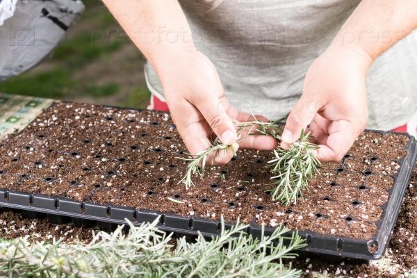Comment cultiver le romarin récolte