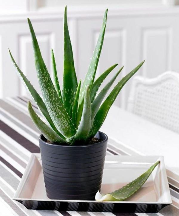 Plantes succulentes comestibles et leurs bienfaits pour la santé aloe vera
