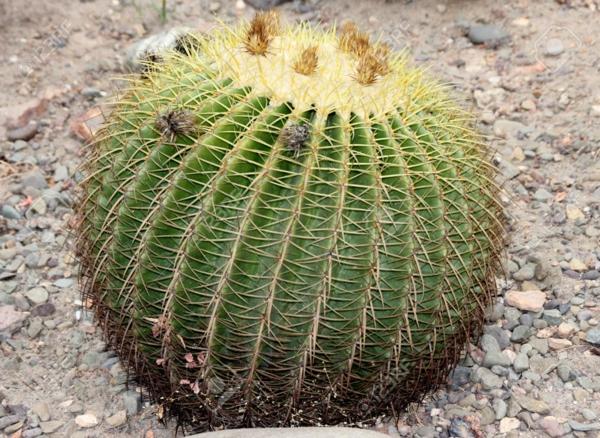 Plantes succulentes comestibles et leurs bienfaits pour la santé cactus baril