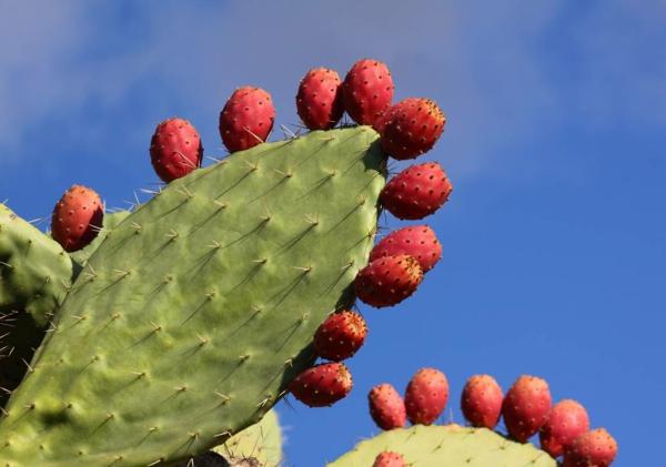 Plantes succulentes comestibles et leurs bienfaits pour la santé cactus figuier de barbarie
