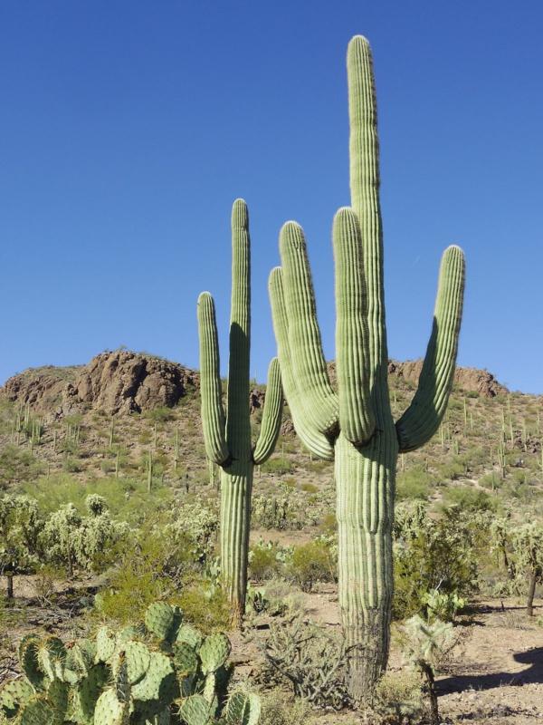 Plantes succulentes comestibles et leurs bienfaits pour la santé cactus saguaro