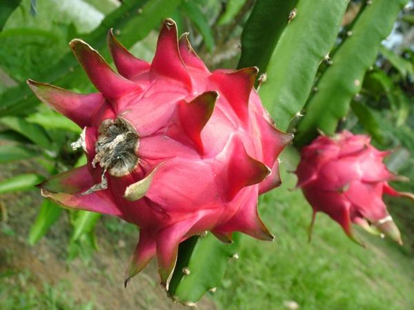 Plantes succulentes comestibles et leurs bienfaits pour la santé fruit du dragon pitaya