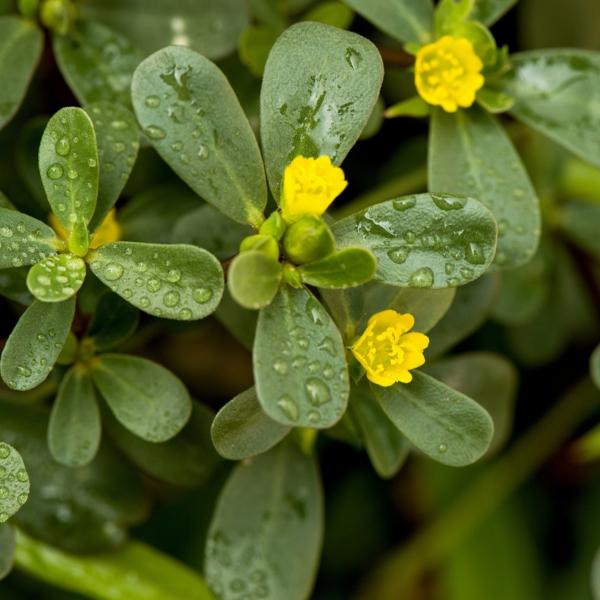 Plantes succulentes comestibles et leurs bienfaits pour la santé pourpier