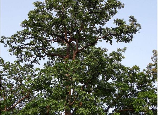 Terminalia arjuna arbre indien