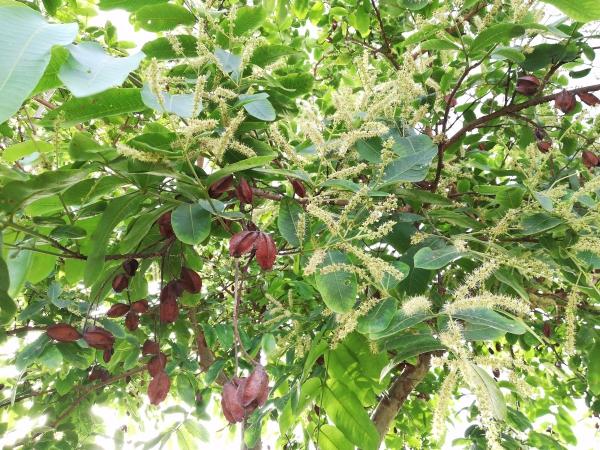 Terminalia arjuna fruits et fleurs