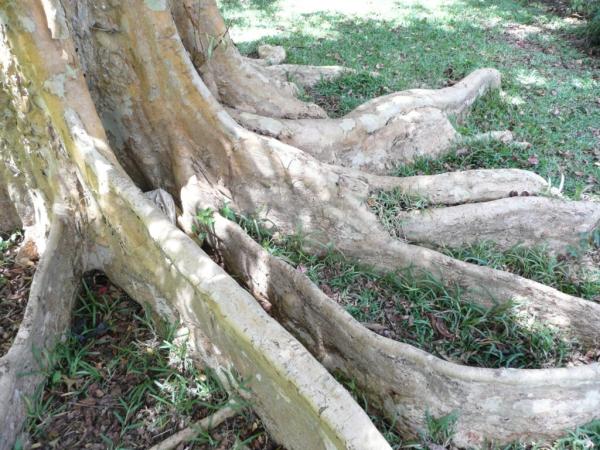 Terminalia arjuna racines impressionnantes