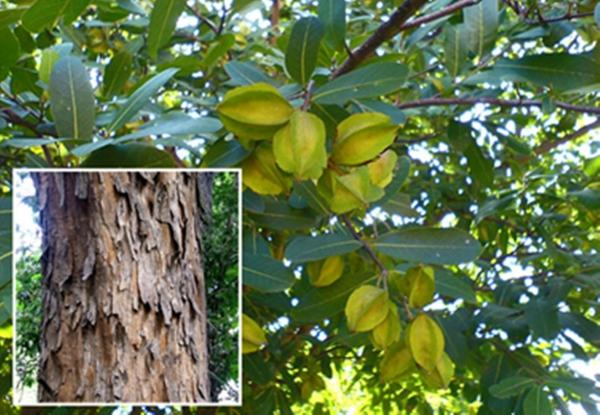 Terminalia arjuna tronc de l'arbre