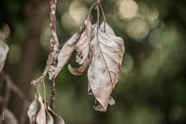 Traitement anti-cochenille 8 astuces pour se débarrasser des parasites feuilles mortes