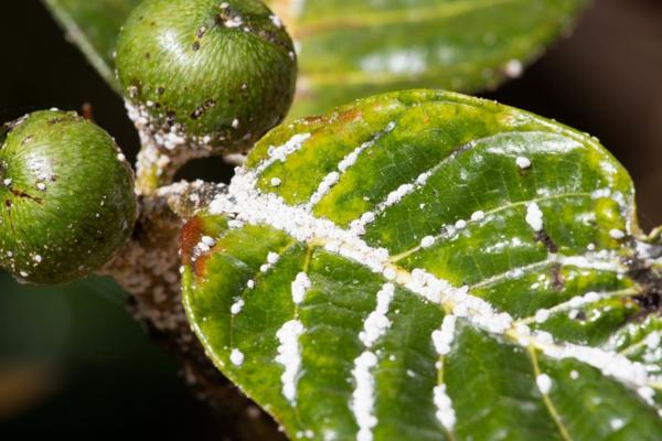Traitement anti-cochenille 8 astuces pour se débarrasser des parasites propagation d'insectes