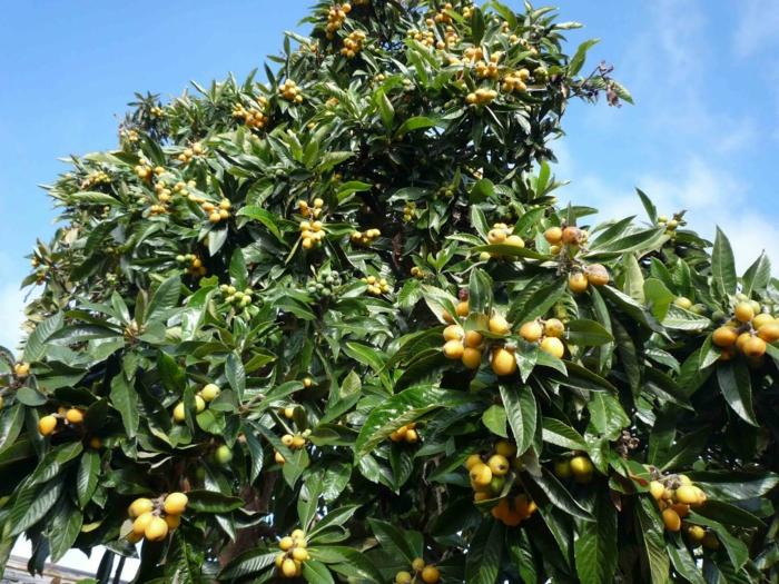 arbre néflier nèfle du japon