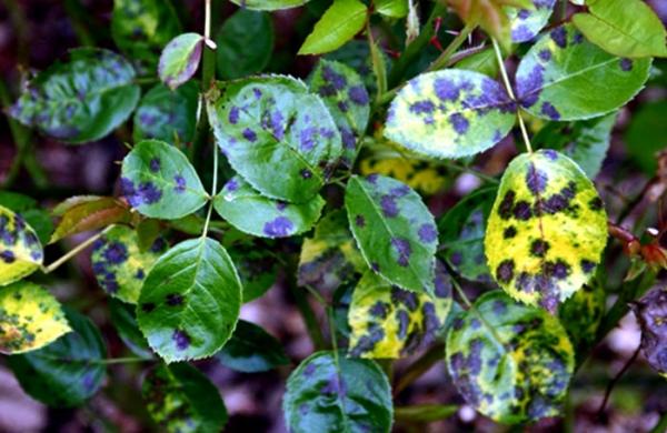 bicarbonate de soude feuilles malades