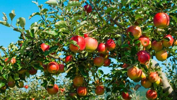 bicarbonate de soude pommes mûries