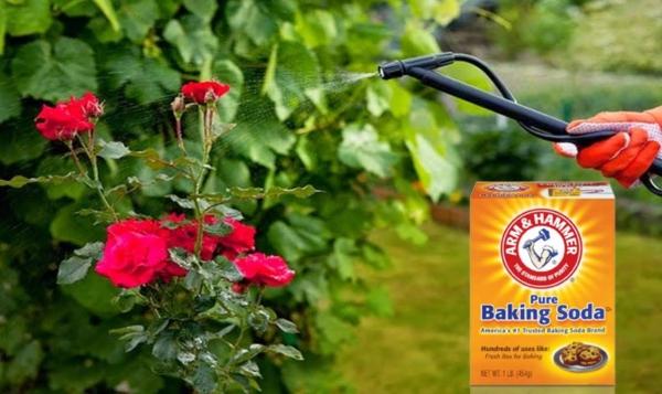 bicarbonate de soude pour les roses